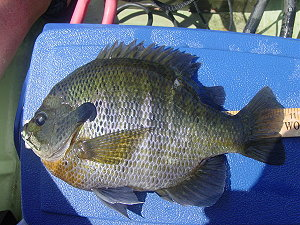 2 lb 6 oz bream from Bar-D