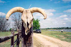 Cowskull at Sturdivant Lake
