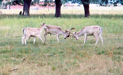 Fallow bucks establishing peck order