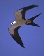 Swallow-tailed kite