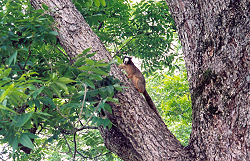 Prairia fox squirrell in a pecan tree